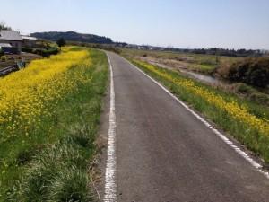サイクリングロード沿いの菜の花
